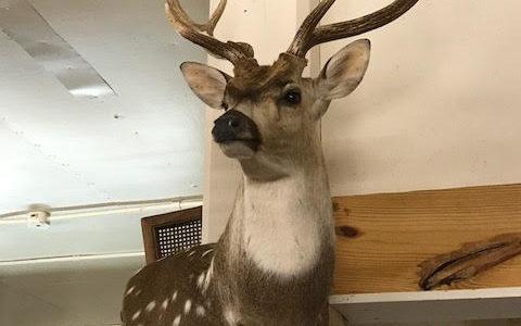 Deer Mount Antlers